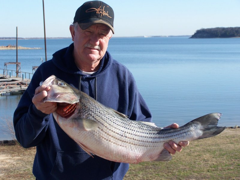 Cross creek striper guide service striper fishing guide for Striper fish pictures